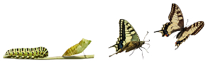 Metamorphosis-Life-Cycle-Swallowtail